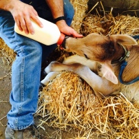 Bottle feeding the calf.