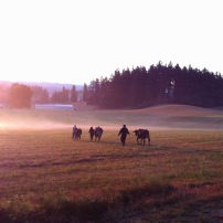 Sunrise cow walks.